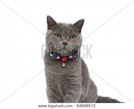 Gray Cat Wearing A Collar With Bow And Jingle Isolated On A White Background