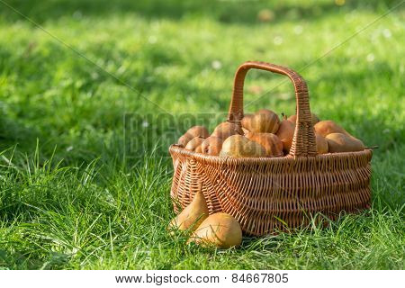 basket with pears on garden