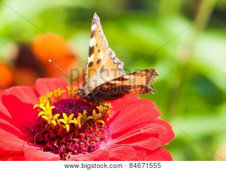 Tortoiseshell Butterfly (Aglais urticae) on a red flower