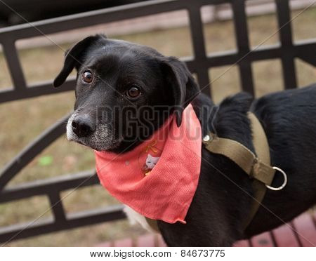 Little Old Black And White Dog In Pink Cravat Stands On Bench