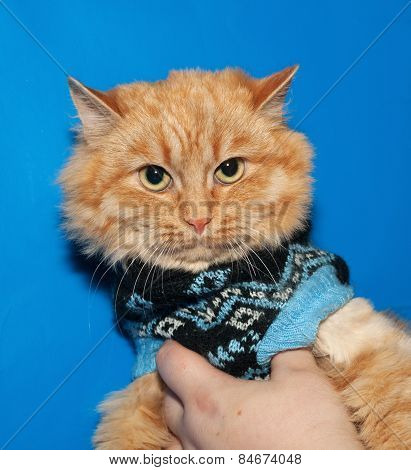 Ginger Bobbed Cat In Sweater On Blue