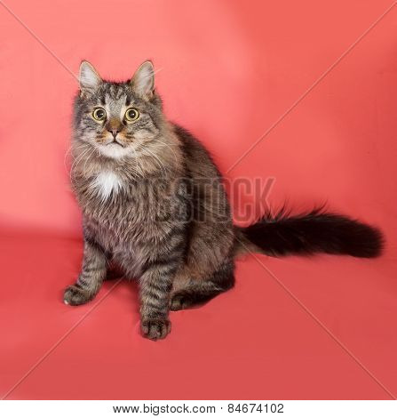 Striped Fluffy Siberian Cat Sitting On Pink