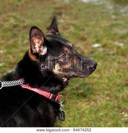 Black And Red Dog Collar Sitting On Green Grass