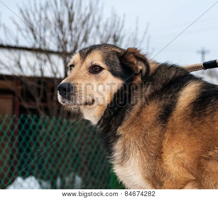 Yellow And Black  Dog Standing On Background Of Green Fence