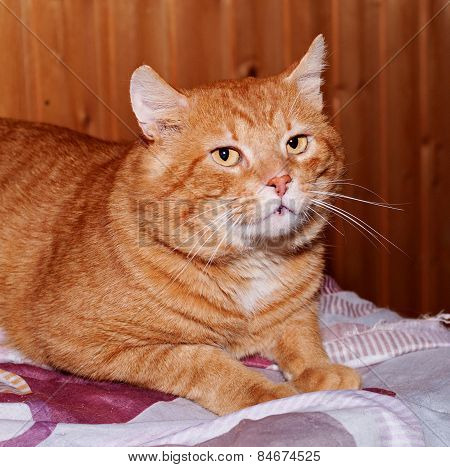 Red Tabby Cat Lying On Table