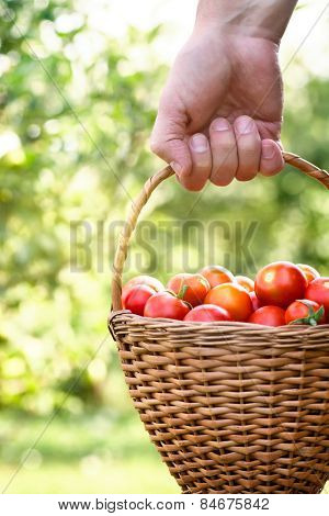 Farmer With Tomatoes