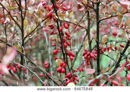 Berries Of Barberry