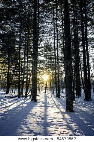 Winter Pines Sunrise