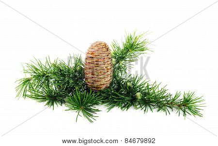 Cedar cone with branches on white background