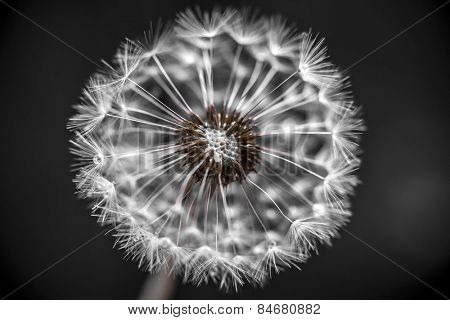 Macro closeup of dandelion seed head over black background with seeds missing