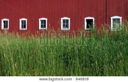 barngrass