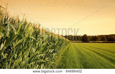 Cornfield with farmland  at sunset.