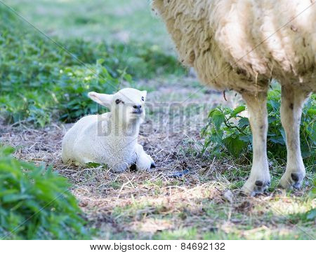 Lying white lamb with legs of mother sheep