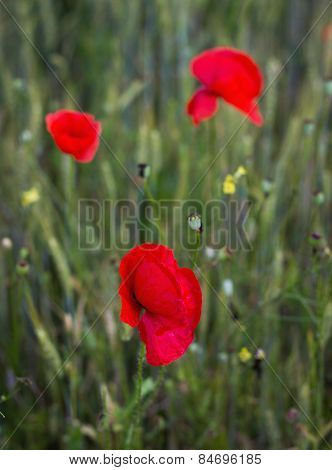 Beautiful Flower Of Poppy