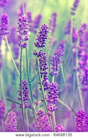 Flower lavnder