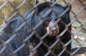 image of caged  - Black bear looking through the zoo cage - JPG