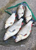 stock photo of chub  - Catch of fishes - JPG