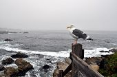 picture of bird fence  - Seagull sitting on fence with ocean background - JPG