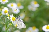 stock photo of daisy flower  - daisy flowers focal point on camera in butterfly on daisy flower during the focus blurred background - JPG