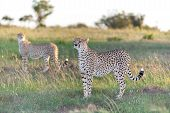 image of cheetah  - Close - JPG