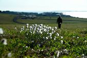 stock photo of chukotka  - Cotton grass flowers on the tundra of Chukotka - JPG