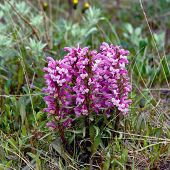 image of chukotka  - Flowers Pedicularis in the tundra of Chukotka - JPG