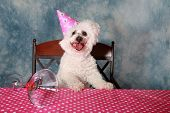 picture of pure-breed  - Jolie a Pure Breed Bichon Frise dog celebrates her 12th Birthday - JPG
