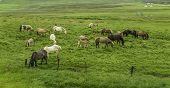stock photo of iceland farm  - Icelandic Horses grazing in a lush field - JPG