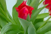image of stamen  - red tulips with green leaves yellow stamens photographed close bouquet flowers - JPG