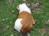 picture of guinea pig  - Guinea pigs eat carrots in the paddock - JPG