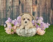 picture of poodle  - Sweet little Poodle sitting in a basket with spring flowers around her - JPG