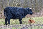 foto of calf cow  - Standing black mother scottish highlander cow with lying newborn brown bull calf in spring meadow - JPG