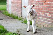 pic of spring lambs  - Looking newborn white lamb standing near brick wall of barn - JPG