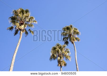 Three Tall Palm Trees Against Bright Blue Sky