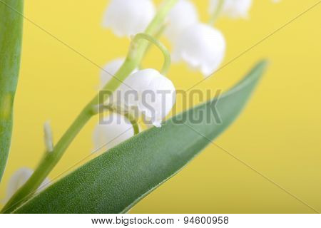 Close Up White Flowers Of Lilac