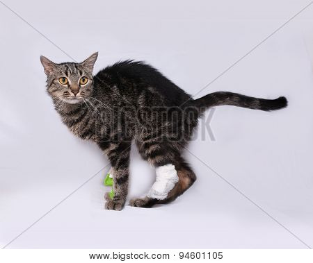 Striped Sick Cat Catheter In Leg Standing On Gray