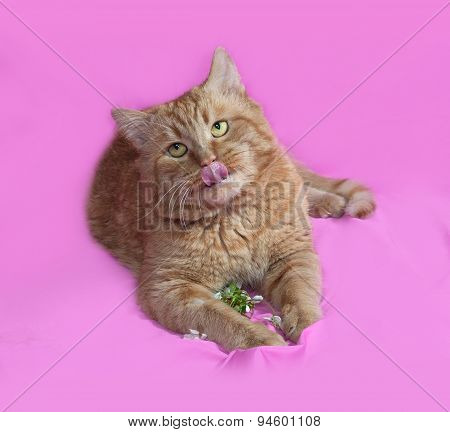 Red Cat Lays On Pink