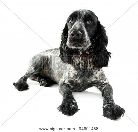 Russian spaniel isolated on white