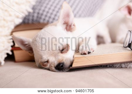 Adorable chihuahua dog with books on sofa
