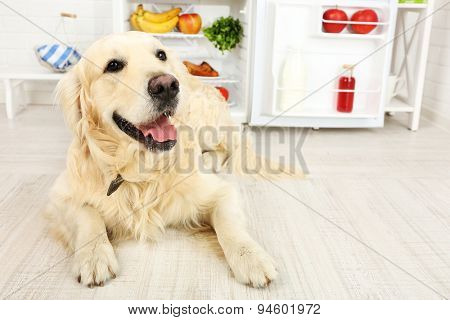 Cute Labrador near fridge in kitchen