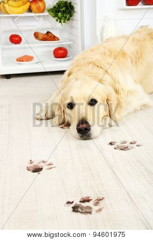 Labrador near fridge and muddy paw prints on wooden floor in kitchen