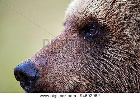 Brown Bear Profile  Portrait