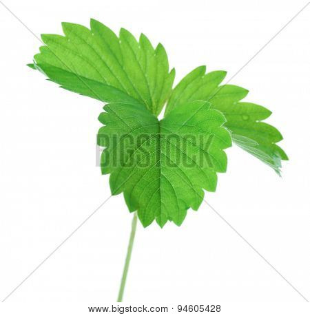 Strawberry leaf, isolated on white