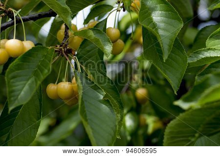 Branch Of White Sweet Cherry On A Tree In June