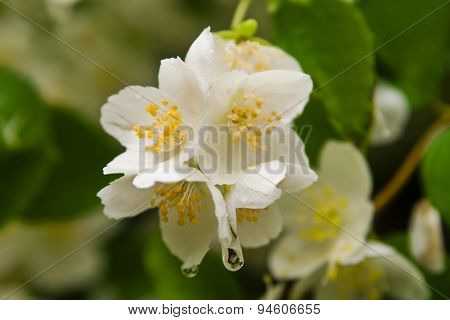 Jasmine flower close-up