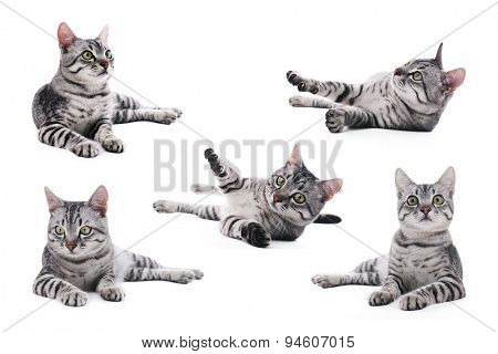 Collage of beautiful grey cat isolated on white