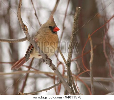 Cardinal In Thicket