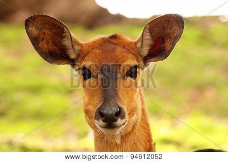 Female Nyala Portrait