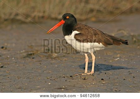 American Oystercatcher Pausing