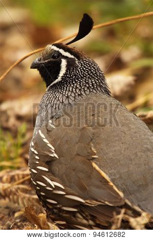 California Quail Looking Up